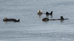 Hanging Out (Alfred J. Lockwood Photography) Tags: alfredjlockwood nature wildlife mammal otter seaotter fjord water ocean morning overcast pacificocean valdez alaska princewilliamsound
