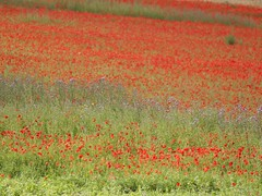 Pointillisme * (Titole) Tags: field chardons coquelicots poppies thistles grass titole nicolefaton