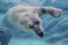 Are polar bears left handed? (ucumari photography) Tags: ucumariphotography nc north carolina zoo january 2017 animal mammal nikita polarbear ursusmaritimus oso bear osopolar ourspolaire oursblanc eisbär ísbjörn orsopolare полярныймедведь dsc3577 specanimal 北極熊