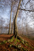 Mossy Roots (aveyardphotography) Tags: moss green sunlight tree beech nature natur woods woodland copse north yorkshire sunny fog foggy mist misty daylight hovingham branches leaves leafy leaf hill hillside countryside