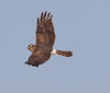 Northern Harrier (Mawrter) Tags: northernharrier harrier flight fly flying action motion wings wing wingspan look looking eyecontact nature wild wildlife outdoor outdoors outside nj newjersey canon specanimal