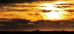 the flock...(HSS) (BillsExplorations) Tags: flock migration birds geese south sunset evening dusk illinois slide sliderssunday windfarm gold