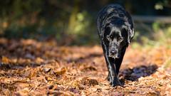 On the prowl (Marcus Legg) Tags: marcuslegg max blacklabradorretriever black labrador lab retriever forest woods bokeh leaves shiny fur dog pet animal canon eos ef70200mmf28lisii explore explored