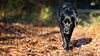 On the prowl (Marcus Legg) Tags: marcuslegg max blacklabradorretriever black labrador lab retriever forest woods bokeh leaves shiny fur dog pet animal canon eos ef70200mmf28lisii explore explored