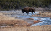 YNP Bison (Kim Tashjian) Tags: yellowstonenationalpark ynp bison buffalo wyoming water wildlife