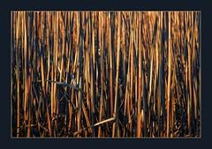 Schilfrohr (blasjaz) Tags: blasjaz botanik stengel reed süsgräser pflanze pflanzen plant rispengrad phragmitescommunis