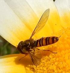 DSCN2506 Fly - Episyrphus balteatus male. (John Steedman) Tags: shillong meghalaya northeast india fly hoverfly dronefly wardslake episyrphusbalteatus syrphidae marmaladehoverfly