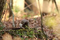 IMG_2099 (marianabmcruz) Tags: parquebiológicodegaia parquebiológico biologicalpark outdoors outdoor nature natureza animal animals fauna esquilo squirrel squirrels