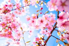 sakura '17 - cherry blossoms #3 (Yodo, Kyoto) (Marser) Tags: xt10 fuji raw lightroom japan kyoto yodo flower cherry sakura skyblue fineweather 京都 淀 桜 河津桜