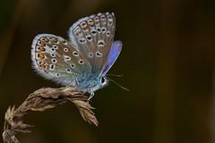 common blue, Polyommatus icarus, male (David_W_1971) Tags: raynox dcr150 butterflieslycaenidae sig2015