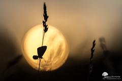 Etre dans la lune (photosenvrac) Tags: macro nature bokeh papillon insecte beaugency sigma150 natura2000 thierryduchamp