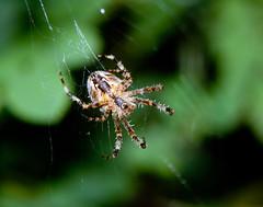 Araneus diadematus (LostnSpace2011 - Back soon) Tags: spider arachnophobia araneusdiadematus 8legs commongardenspider orbweb