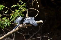Anhinga (Nix Alba) Tags: costa bird birds animal nikon outdoor negro sigma cano rica sunbathing anhinga sunning d7000