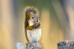 American Red Squirrel (Mick Thompson1) Tags: