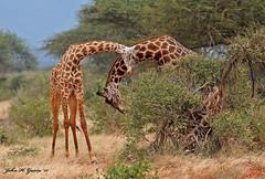 "JHG_6165-b  Like the fighting Elephants, these guys never stop. Masai Giraffes ""necking"", Tsavo East, Kenya. (GavinKenya) Tags: africa wild nature animal june john mammal photography gavin photographer kenya african wildlife july grand safari dk naturephotography kenyasafari africansafari 2015 safaris africanwildlife africasafari johngavin wildlifephotography kenyaafrica kenyawildlife dkgrandsafaris africa2015 safari2015 johnhgavin"