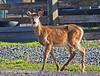 "She Says ""Hello"" ! (jimgspokane) Tags: wildlife deer whitetaildeer otw idahostate whitetaildoe naturewatcher ""nikonflickraward"""