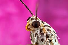 Sleeping moth (affectatio) Tags: macro bug insect moth mpe65 focusstack zerene utetheisalotrix crotalariamoth utetheisapulchelloides heliotropemoth