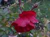 Solidarité (anemone54) Tags: red rot rose regentropfen rosengewächs