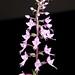 Stenoglottis longifolia – Merle Robboy