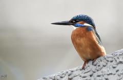 Nikon Coolpix P900. Kingfisher. Dec 2015_1 (MSB.Photography) Tags: naturaleza bird nature animals nikon zoom p900 kingfisher animales pajaro martinpescador ultrazoom nikoncoolpixp900