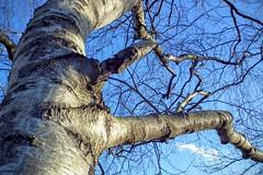 DSCF7369.tif (Ad Sebregts) Tags: tree margriet