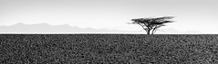 Standing Strong, Kenya (John Rowe Photo) Tags: africa blackandwhite tree landscape desert kenya moonscape harsh turkana loyangalani