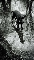 Reflection (Tobymeg) Tags: dog reflection rain labrador phone microsoft 640 lumia lte