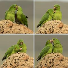 "'Parakeets in love"" (Fabio Rage) Tags: couple minas gerais aves parakeet casal maracana canastra maritaca periquitao"