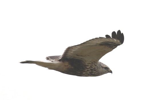 Rough-legged Buzzard 1