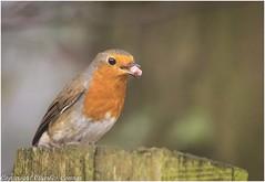 Robin (Charles Connor) Tags: billinge england unitedkingdom gb robins wildlife wildlifephotography wild tinybirds gardensbirds birdphotography uknature naturephotography canon100400lens canon7dmk11