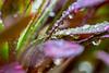Aeonium (julesnene) Tags: atropurpureum aeoniumarboreum california canon7dmark2 canon7dmarkii canonef100mmf28lmacroisusm juliasumangil treehouseleek backyard dew dewdrops garden julesnene macro nature rain raindrops succulent