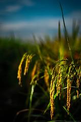 PADDY (Azizasrar Photoghraphy) Tags: paddyfield amateurtobepro travellight nikon nikond90 azizasrar atmosphereinkelantan landscape lake