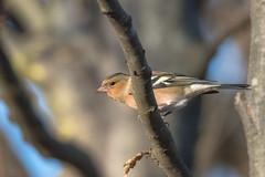 Fringuello (maschio) (giansacca) Tags: fringuello uccelli birds oiseaux aves vogel animals animali animaux