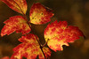 Shining Colors (gripspix (OFF)) Tags: 20161109 autumnleaf herbstblatt herbstlaub clematis purple speckled gefleckt colorful bunt