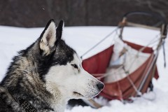 Snowdog (• Julien Laroche) Tags: chien dog husky race neige froid traineau snow couleur blanc white color animal animaux animals jlaphotographie colombier seyssel ain fetedelaneige grandcolombier oeil eyes yeux sonyalpha huskies huskie