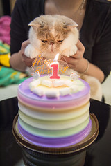 Wish (BWCK Photography) Tags: piggy bun exotic shorthair cat kitten boy animal pet lovely cute pig creamy
