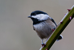 8430-1sm (torriejonvik) Tags: chickadee vine blackberry song bird