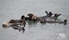 Chilling Otters (fascinationwildlife) Tags: animal mammal sea ocean otter seeotter rest moss landing harbour california usa america wild wildlife nature natur cute monterey bay