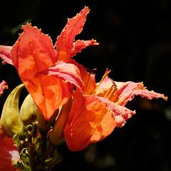 Tulip tree (Boudewijn Vermeulen ) Tags: holiday tenerife travel bloemen closeup exotic flowers leaves plants publ red spain