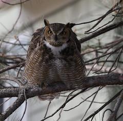 Great Horned Owl (fethers1) Tags: backyardwildlife bird raptor coloradowildlife ngc npc