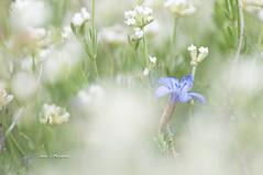 Entre blancos (Juan J. Marqués) Tags: blanco azul aliaga primavera