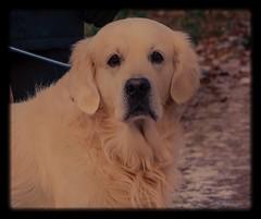 Golden retriever (frankmh) Tags: animal dog goldenretriever hittarp skåne sweden outdoor