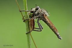 Raubfliege (Asilidae) mit Beute (AchimOWL) Tags: fliege raubfliege zweiflügler makro macro insekt insekten natur gx80 postfocus panasonic lumix wildlife schärfentiefe tier outdoor fly ngc macrodreams