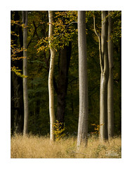 Five Trees (JRTurnerPhotography) Tags: jaketurner jrturnerphotography canon canon5dmarkiii canon5d canon24105mmf4lis canonlseries picture print image photo photography photographer photograph landscape landscapephotography woodland forest woods trees savernakeforest marlborough wiltshire westcountry southwest england uk unitedkingdom gb britain greatbritain europe eu autumn fall nature natural wessex forestrycommission northwessexdowns aonb areaofoutstandingnationalbeauty wessexdowns marlboroughdowns