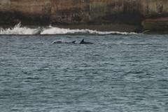 IMG_5724 (monika.carrie) Tags: monikacarrie wildlife scotland aberdeen dolphins dolphin cetacean mammal