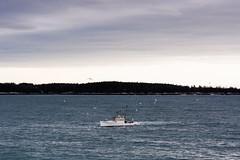 A Lone Lobsterman (SamHardgrove) Tags: lobster boat lobsterboat lobstermen lobsterman ship sea ocean atlantic trees tree island wake clouds sky water tide ripple birds gull seagull