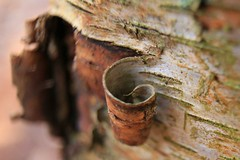 Peeling (AndyGrayPhotography) Tags: macro macromonday photography photo bark tree canon canon6d 14extender 1635mm bokeh