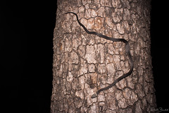 Pale-headed Snake (Hoplocephalus bitorquatus) (elliotbudd) Tags: paleheaded pale headed snake hoplocephalus bitorquatus elapid elapidae yuleba qld queensland