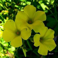 """Esta flor silvestre en Málaga siempre he oído que la llaman comúnmente """"vinagreta"""" y desde niño yo la he llamado así. Ahora es el tiempo de su floración y están los campos llenos... Tienen un tallo largo de unos 25 cm.   y si lo arrancas y lo masticas tie (EMferrer) Tags: enriquemalaga plantasilvestre vinagreta"""