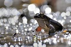 Italy, Rana temporaria (Vittorio Ricci (thanks +++ 2.8 millions views)) Tags: ranatemporaria ranaalpina ranamontana ranarossa europeancommonbrownfrog